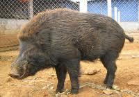 Lợn Rừng sống nguyên con