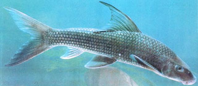 Cá Anh Vũ thịt