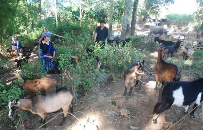 """Chuyện về """"hợp tác xã"""" nuôi dê của người H'Mông trên đỉnh núi"""